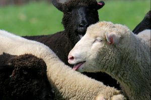 Gore Place Sheepshearing Festival