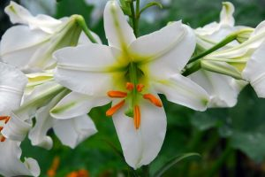 Lily Show at the Arnold Arboretum