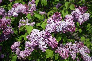 2020 Lilac Sunday T-shirt Contest - Arnold Arboretum
