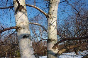 The Bare Essentials: Winter Trees