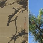 Painting Edo at the Arnold Arboretum: Japanese Black Pine