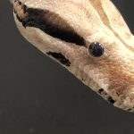 After-School Animal Encounters: Radical Reptiles (Free Virtual Family Event)