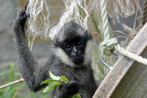 Gibbon Birthday Party at Stone Zoo!